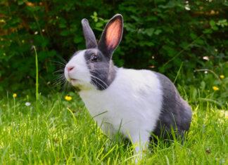 mity o królikach