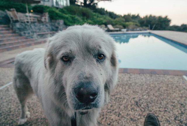 duży pies a ogród