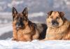 Rasy psów do pilnowania posesji