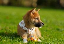 Jak uchronić trawnik przed psem